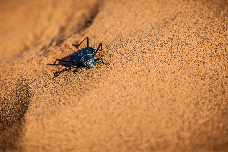 Namibian Fog Basking Beetle