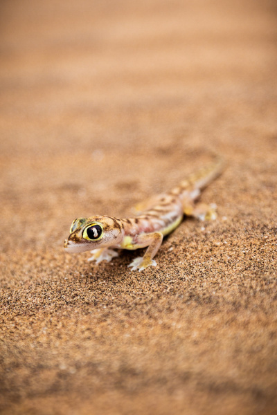 Transparent Gecko