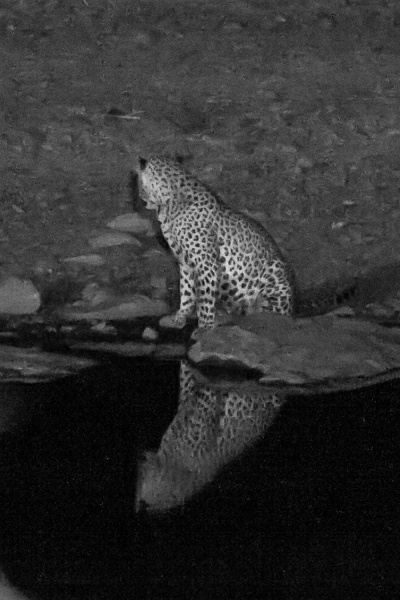 Leopard (II)