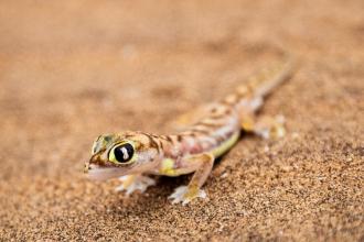 Transparent Gecko