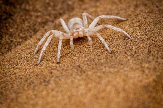 White Lady Spider