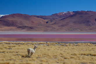 Llama at Laguna Colorada